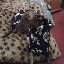 Brindle in Skulls coat